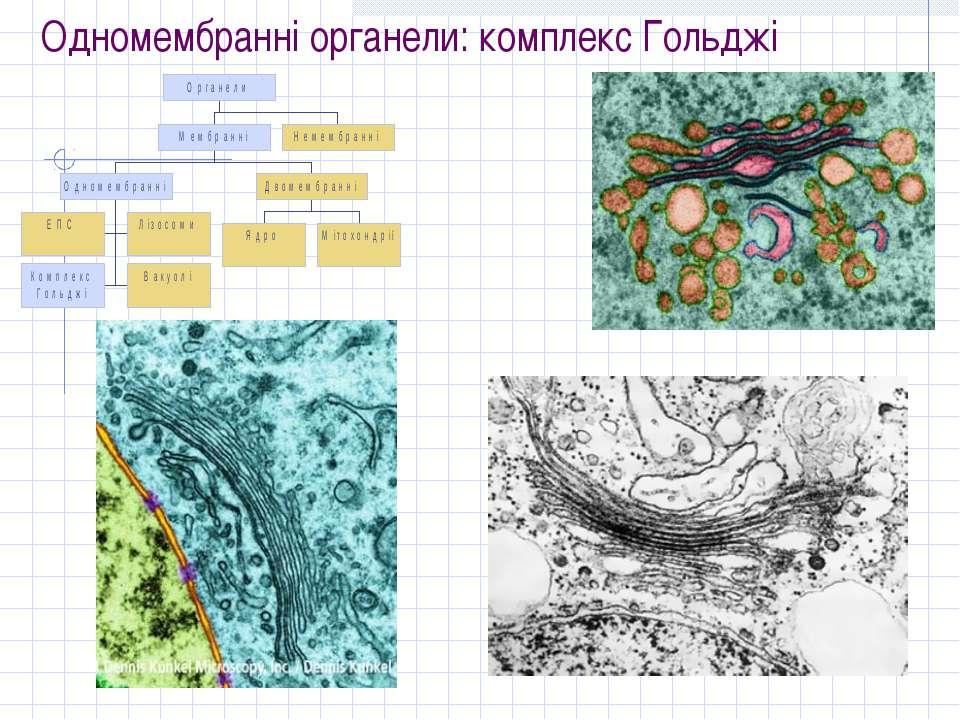 Одномембранні органели: комплекс Гольджі
