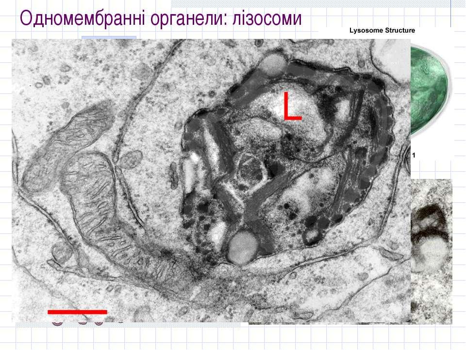 Одномембранні органели: лізосоми