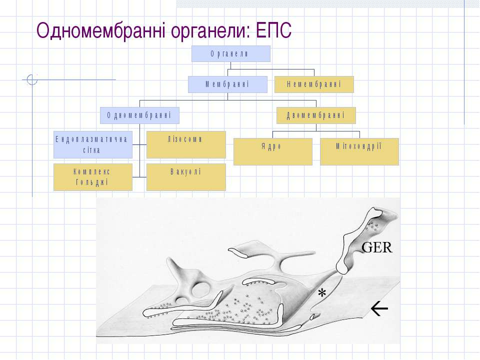 Одномембранні органели: ЕПС
