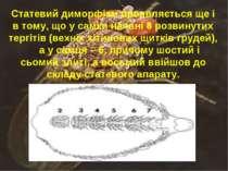 Статевий диморфізм проявляється ще і в тому, що у самки наявні 8 розвинутих т...