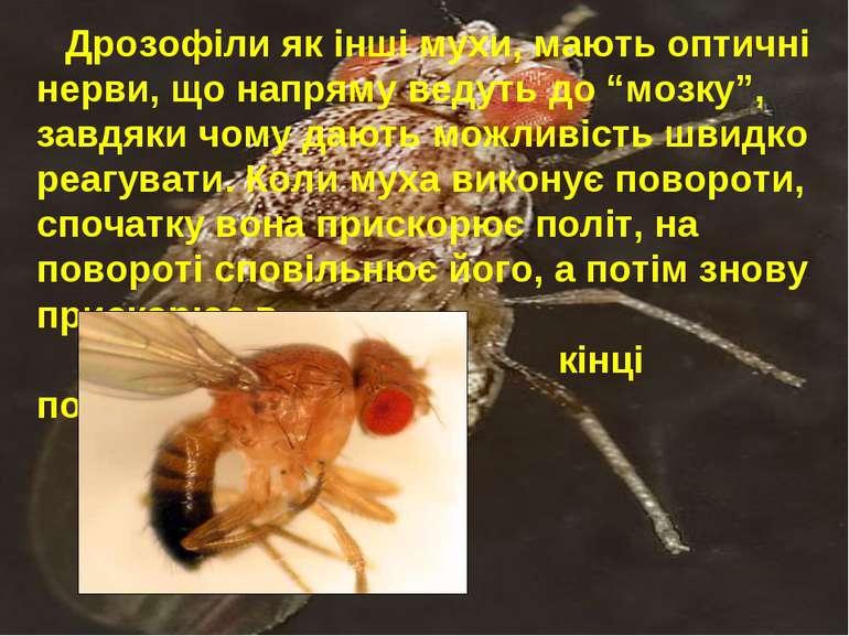 """Дрозофіли як інші мухи, мають оптичні нерви, що напряму ведуть до """"мозку"""", за..."""