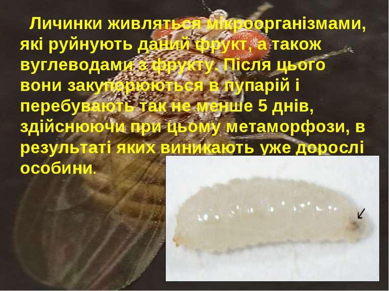 Личинки живляться мікроорганізмами, які руйнують даний фрукт, а також вуглево...