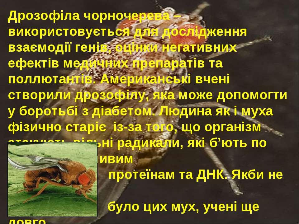 Дрозофіла чорночерева – використовується для дослідження взаємодії генів, оці...