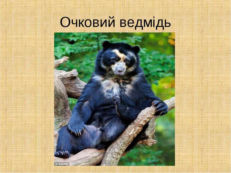 Очковий ведмідь