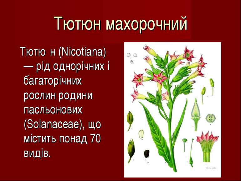 Тютюн махорочний Тютю н (Nicotiana) — рід однорічних і багаторічних рослин ро...