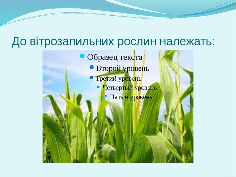 До вітрозапильних рослин належать: