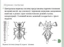Нервова система Центральна нервова система представлена парним головним мозко...