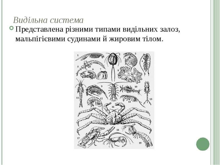 Видільна система Представлена різними типами видільних залоз, мальпігієвими с...