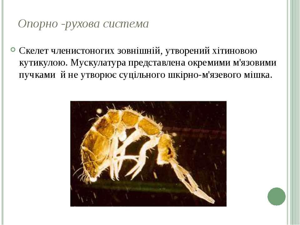 Опорно -рухова система Скелет членистоногих зовнішній, утворений хітиновою ку...