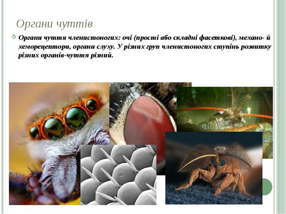 Органи чуттів Органи чуття членистоногих: очі (прості або складні фасеткові),...