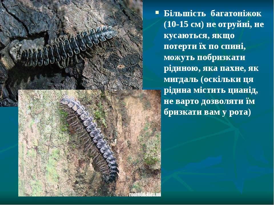 Більшість багатоніжок (10-15 см) не отруйні, не кусаються, якщо потерти їх по...