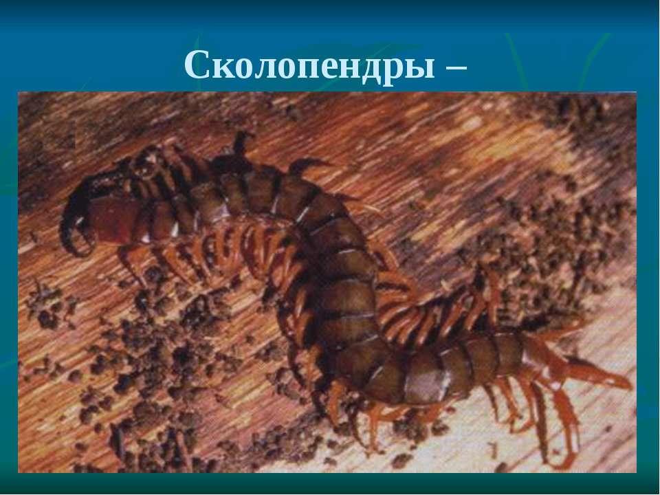 Сколопендры –