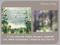 Ловча сітка У тіло жертви павук вводить травний сік, який переварює і зберіга...
