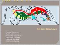 Внутрішня будова павука Травна система. Видільна система. Кровеносна система....