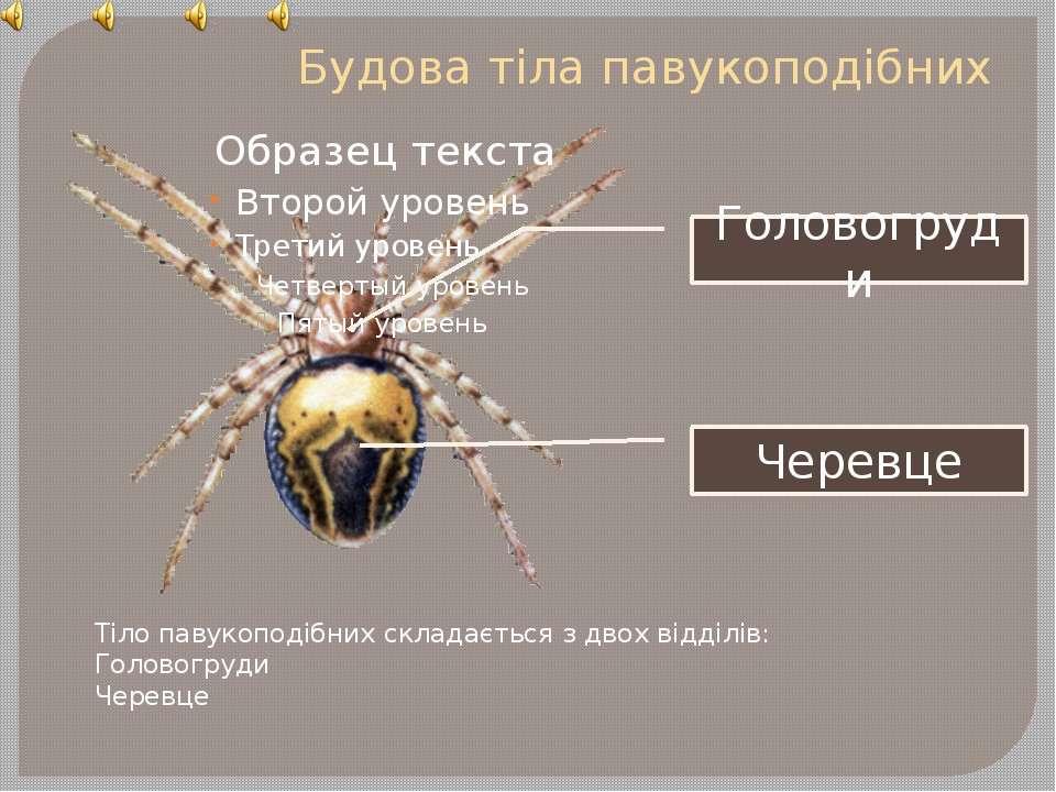 Будова тіла павукоподібних Тіло павукоподібних складається з двох відділів: Г...