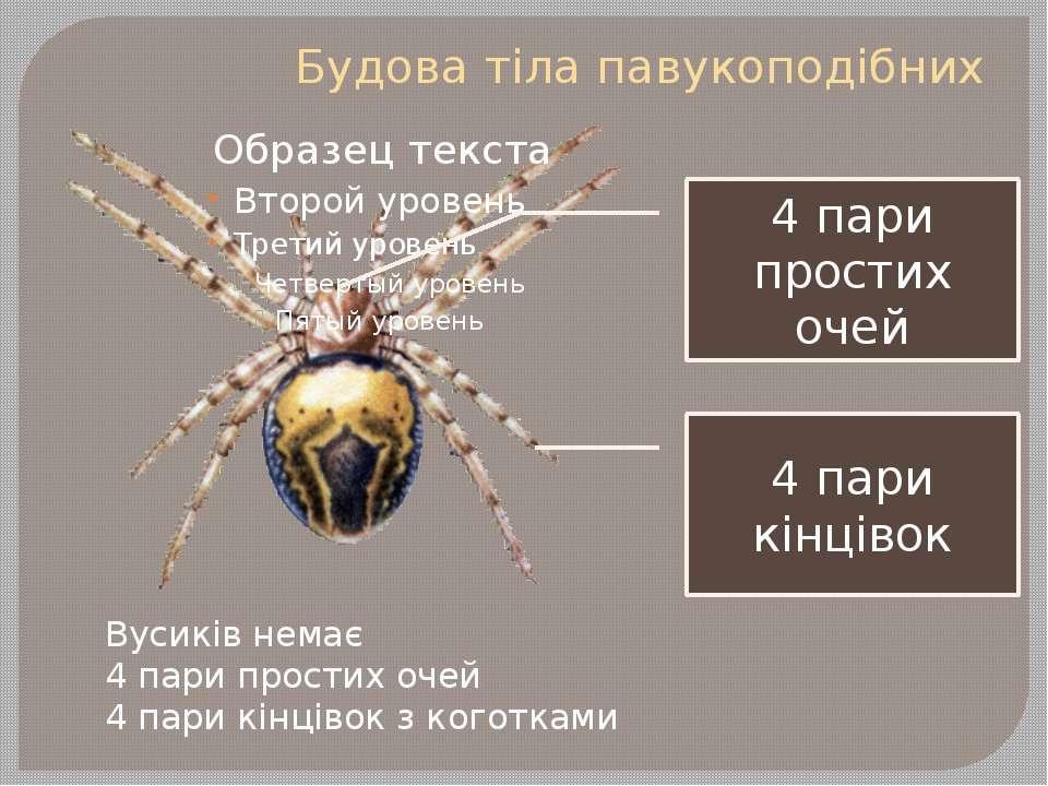 Будова тіла павукоподібних Вусиків немає 4 пари простих очей 4 пари кінцівок ...