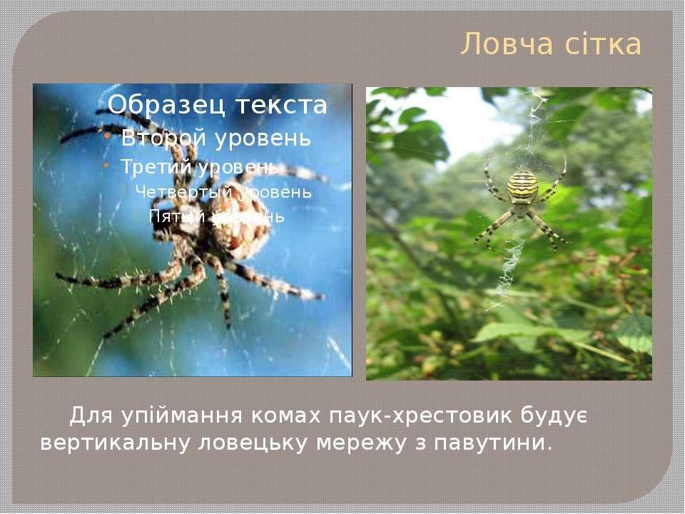 Ловча сітка Для упіймання комах паук-хрестовик будує вертикальну ловецьку мер...