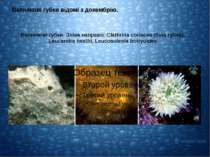 Вапнякові губки. Зліва направо: Clathrina coriacea (біла губка), Leucandra he...