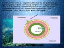 ектодерма мезоглея ентодерма У багатьох губок тіло має вид келиха або мішечка...