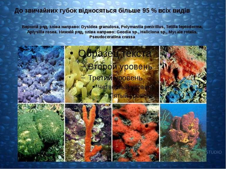 Верхній ряд, зліва направо: Dysidea granulosa, Polymastia penicillus, Tetilla...