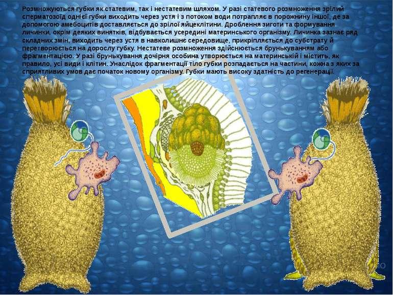 Розмножуються губки як статевим, так і нестатевим шляхом. У разі статевого ро...