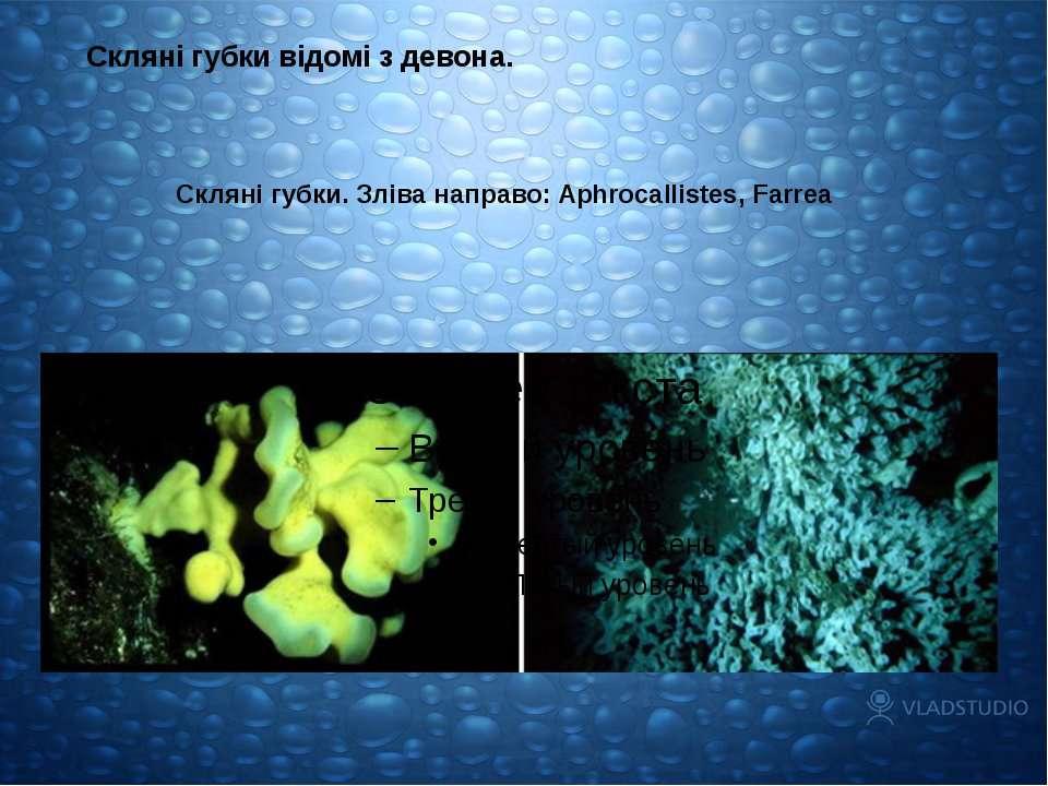 Скляні губки. Зліва направо: Aphrocallistes, Farrea Скляні губки відомі з дев...
