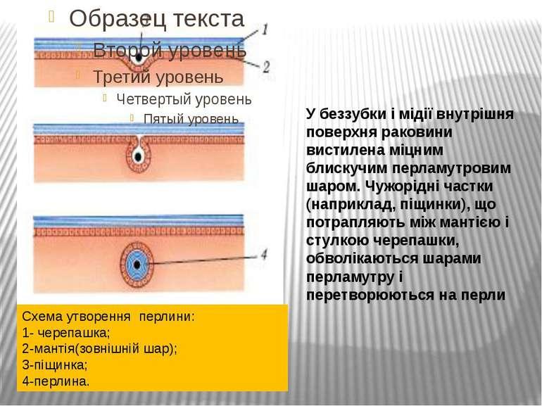 У беззубки і мідії внутрішня поверхня раковини вистилена міцним блискучим пер...