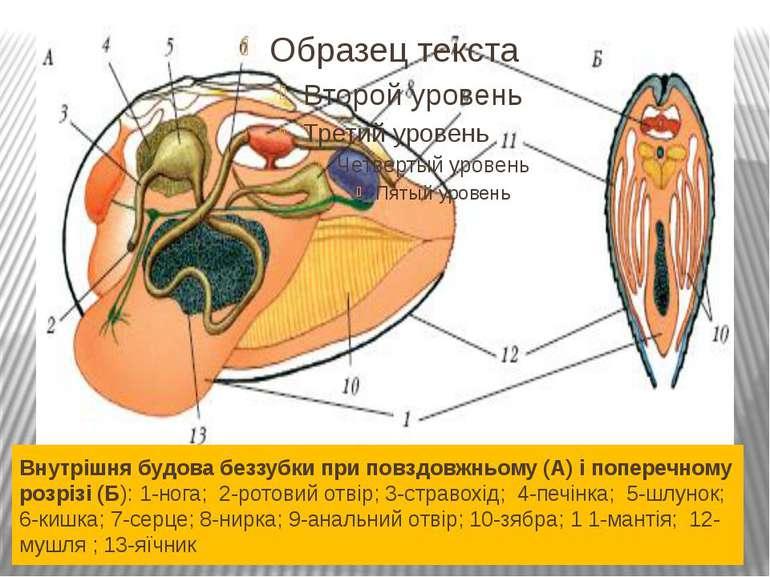 Внутрішня будова беззубки при повздовжньому (А) і поперечному розрізі (Б): 1-...