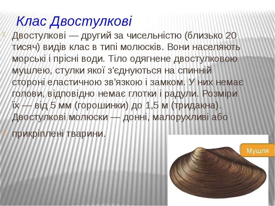 Клас Двостулкові Двостулкові — другий за чисельністю (близько 20 тисяч) видів...
