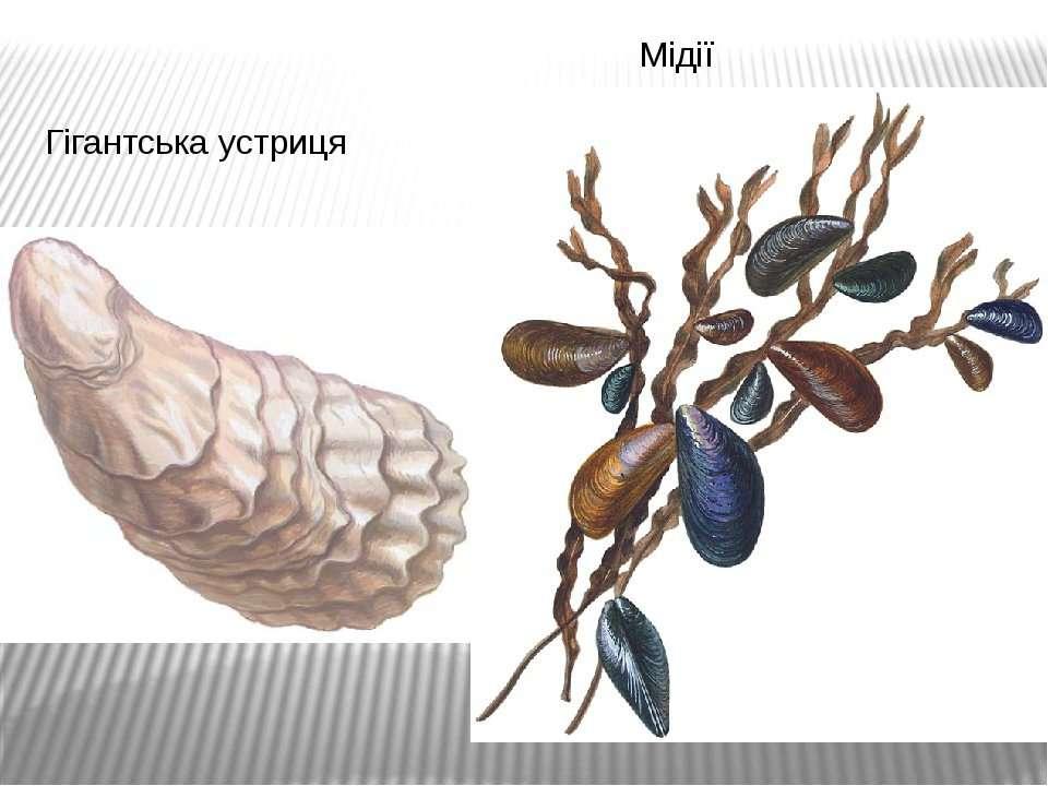 Гігантська устриця Мідії