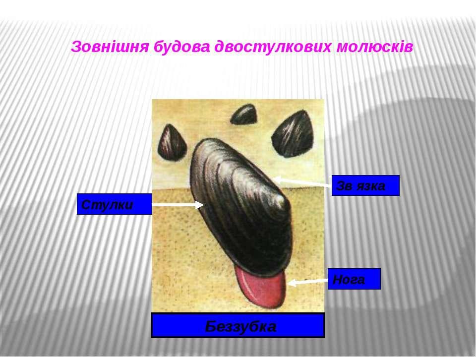Зовнішня будова двостулкових молюсків Беззубка Стулки Зв язка Нога