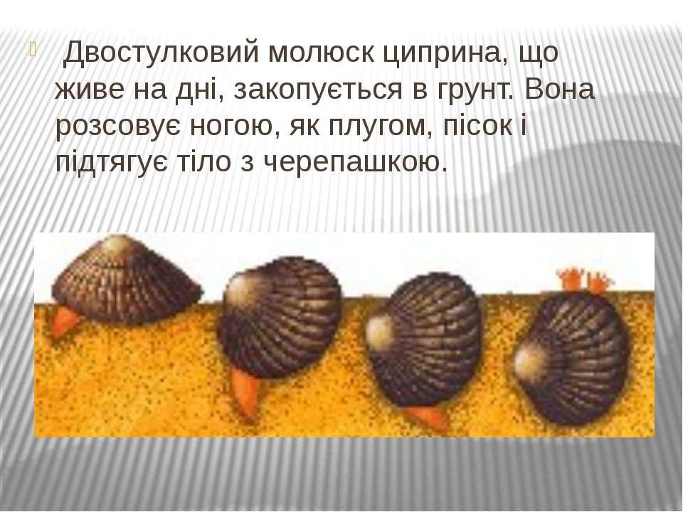 Двостулковий молюск циприна, що живе на дні, закопується вгрунт. Вона розсов...