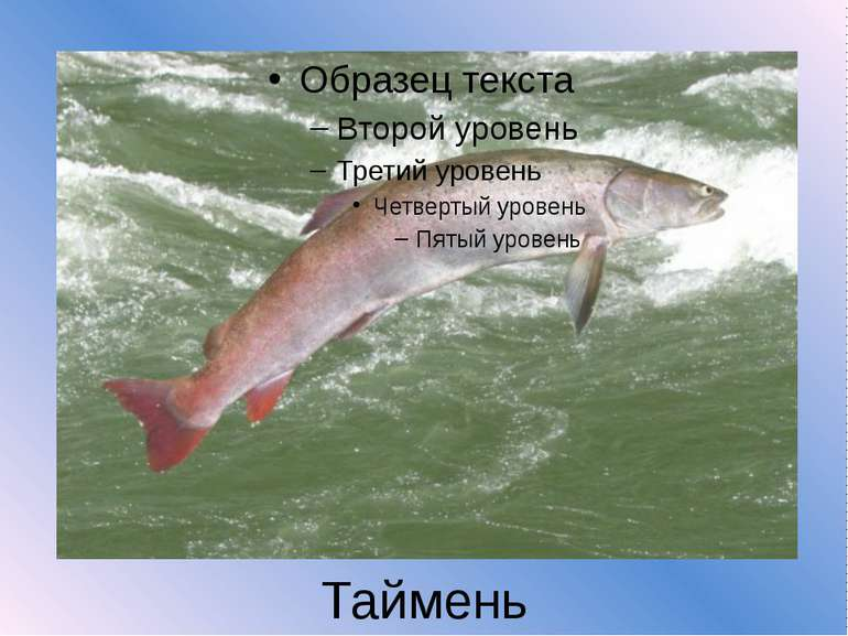 Таймень