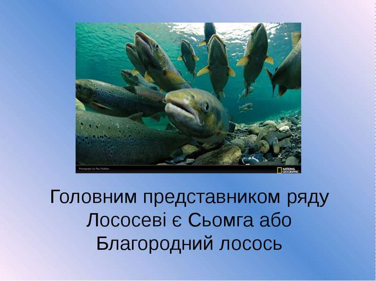 Головним представником ряду Лососеві є Сьомга або Благородний лосось