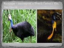 Казуари – поширені в Новій Гвінеї і Пн. Австралії