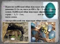 Цікаво знати: Відносно найбільші яйця відкладає ківі. Їх довжина 12-2о см, ма...