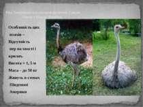 Особливість цих птахів – Відсутність пер на хвості і крилах. Висота = 1, 5 м ...