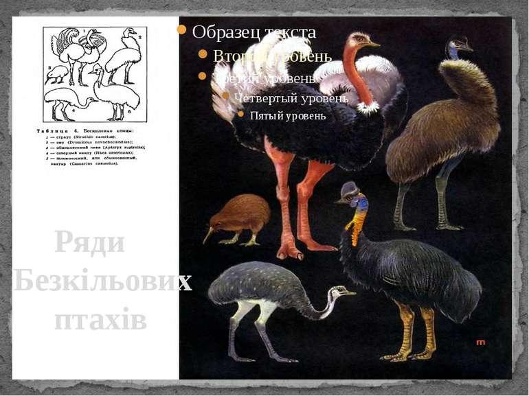 Ряди Безкільових птахів