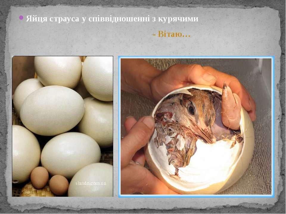 Яйця страуса у співвідношенні з курячими - Вітаю…