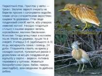 Перелітний птах. Прилітає у квітні — травні. Заселяє зарості очерету на берег...
