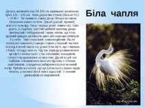 Біла чапля Досить великий птах 94-104 см заввишки і розмахом крил 131—145 см....