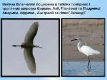 Велика біла чапля поширена в теплих помірних і тропічних широтах Європи, Азії...