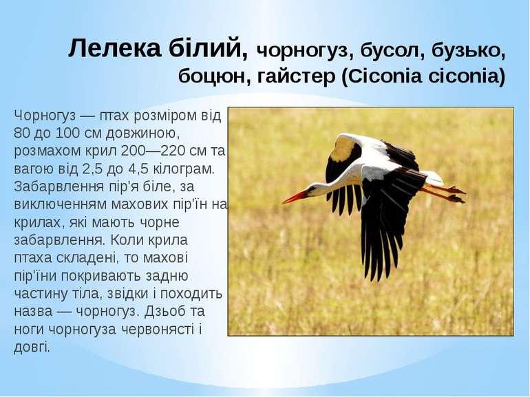 Лелека білий, чорногуз, бусол, бузько, боцюн, гайстер (Ciconia ciconia) Чорно...