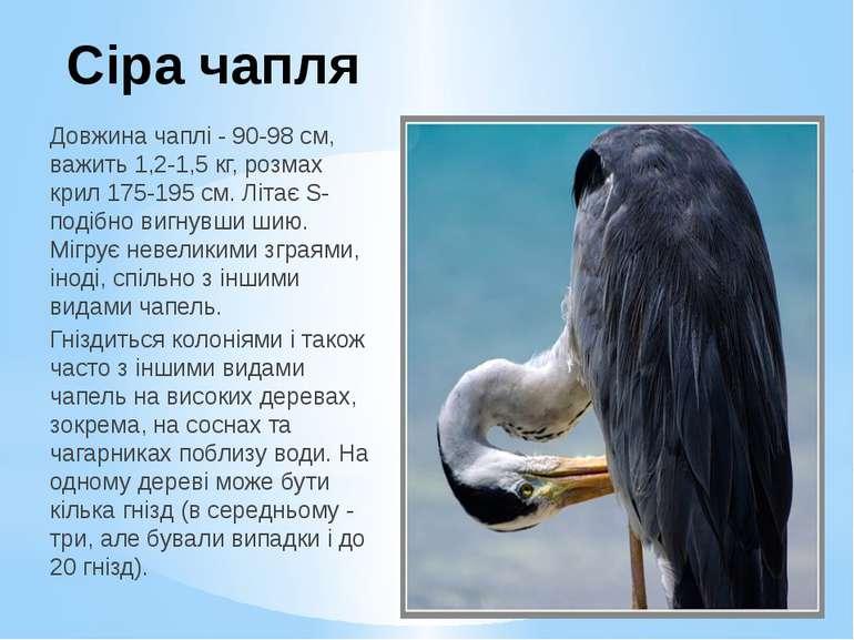 Сіра чапля Довжина чаплі - 90-98 см, важить 1,2-1,5 кг, розмах крил 175-195 с...