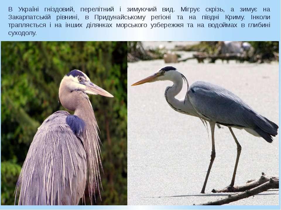 В Україні гніздовий, перелітний і зимуючий вид. Мігрує скрізь, а зимує на Зак...