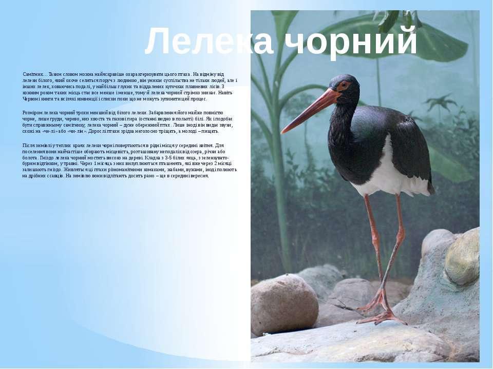 Самітник…Таким словом можна найяскравіше охарактеризувати цього птаха. На від...