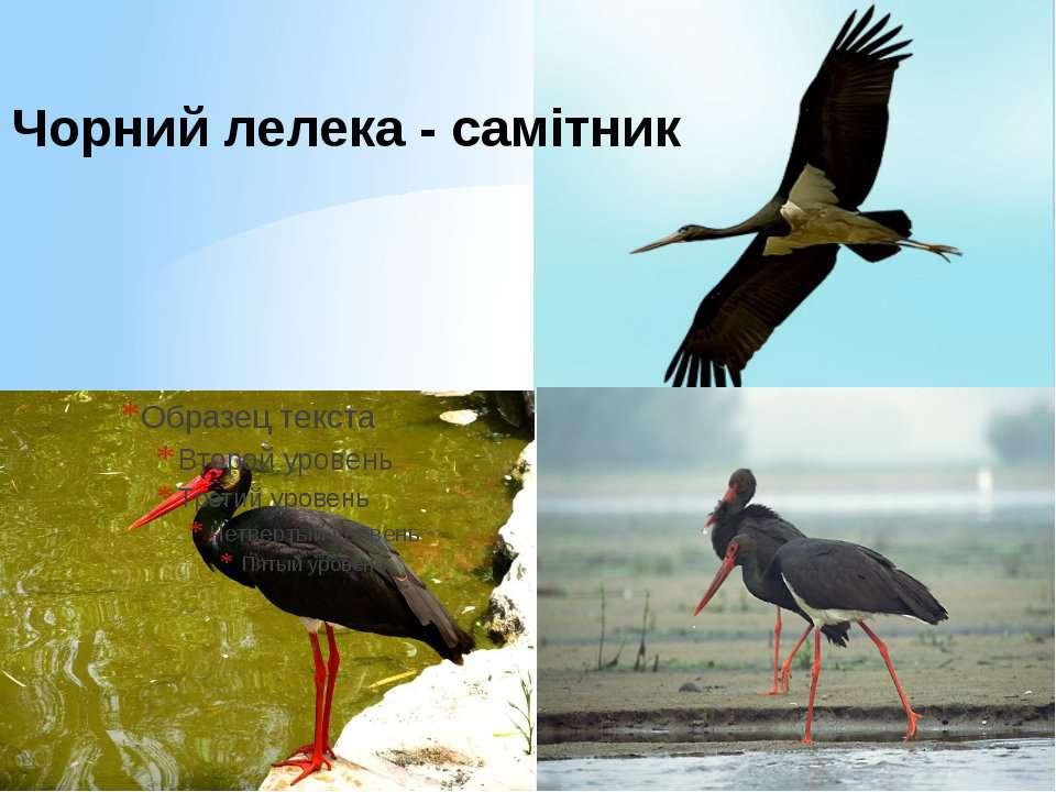 Чорний лелека - самітник