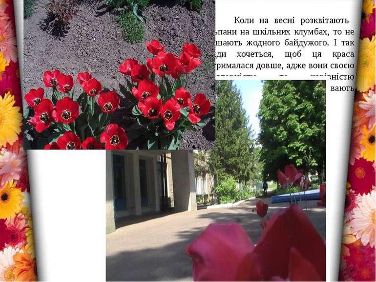 Коли на весні розквітають тюльпани на шкільних клумбах, то не залишають жодно...