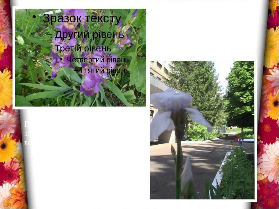 Веселкова дуга з'єднує небо і землю, а квітка ірис переливається всіма барвам...