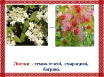 Квіти - духмяні, запашні, сніжно-білі. Листки - темно-зелені, смарагдові, баг...